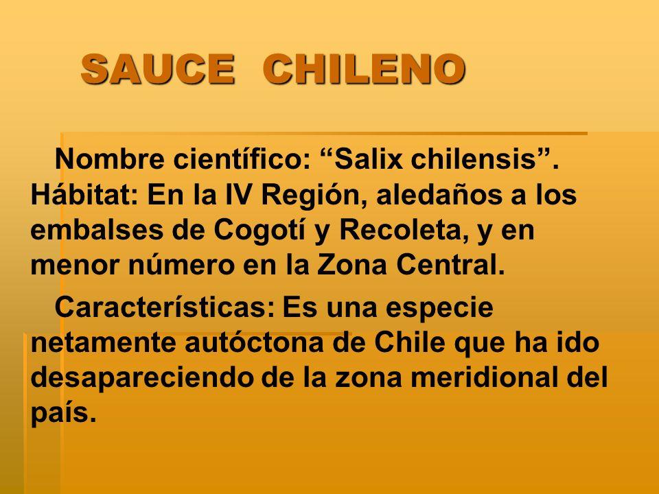 SAUCE CHILENO SAUCE CHILENO Nombre científico: Salix chilensis.