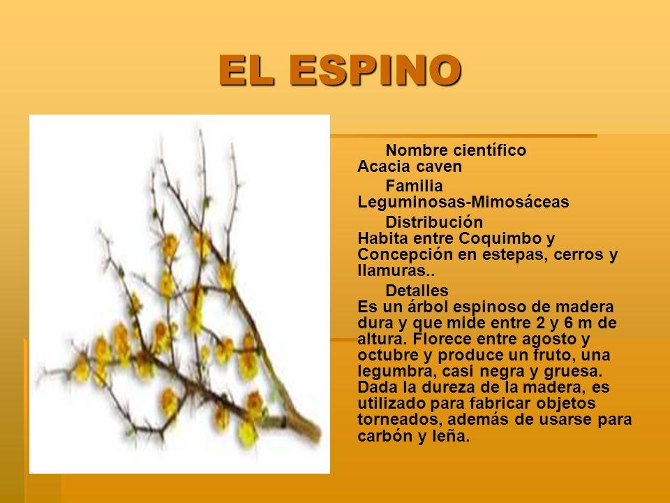 EL ESPINO EL ESPINO Nombre científico Acacia caven Familia Leguminosas-Mimosáceas Distribución Habita entre Coquimbo y Concepción en estepas, cerros y llamuras..