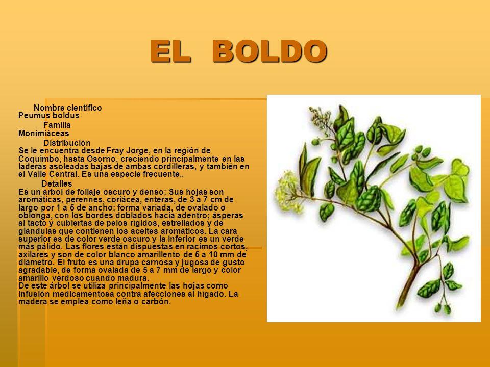 EL BOLDO EL BOLDO Nombre científico Peumus boldus Familia Monimiáceas Distribución Se le encuentra desde Fray Jorge, en la región de Coquimbo, hasta O