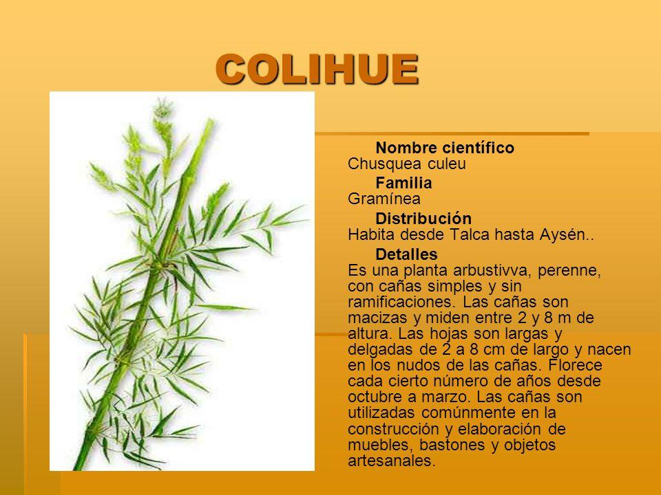 COLIHUE COLIHUE Nombre científico Chusquea culeu Familia Gramínea Distribución Habita desde Talca hasta Aysén.. Detalles Es una planta arbustivva, per