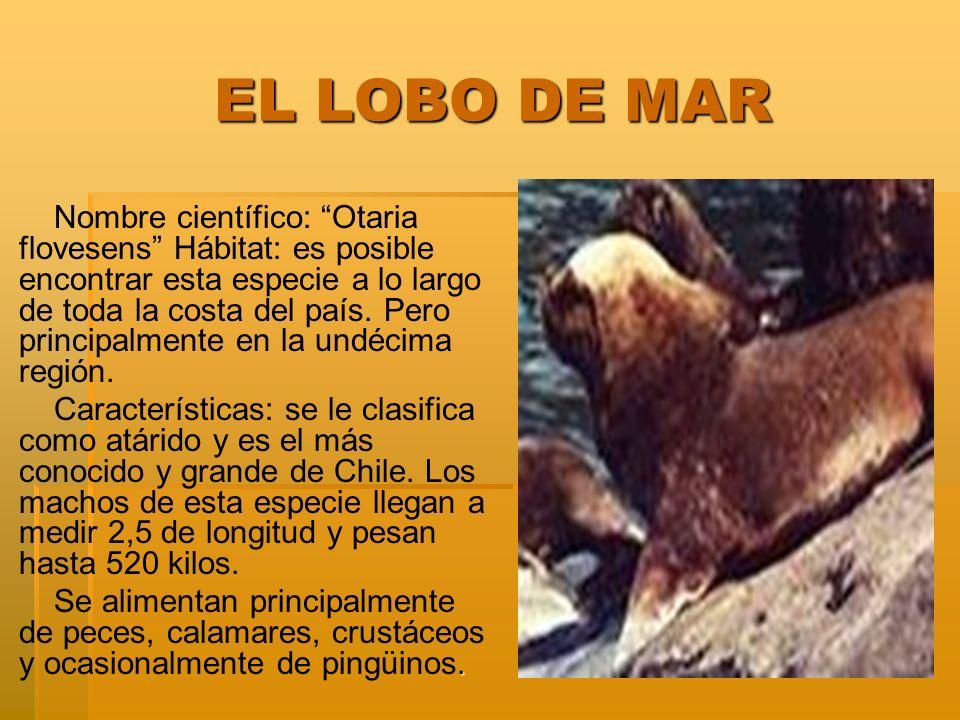 EL LOBO DE MAR EL LOBO DE MAR Nombre científico: Otaria flovesens Hábitat: es posible encontrar esta especie a lo largo de toda la costa del país.