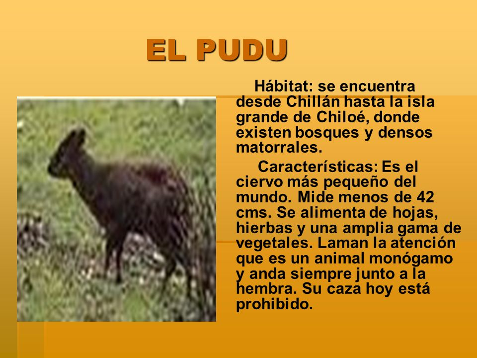 EL PUDU EL PUDU Hábitat: se encuentra desde Chillán hasta la isla grande de Chiloé, donde existen bosques y densos matorrales. Características: Es el