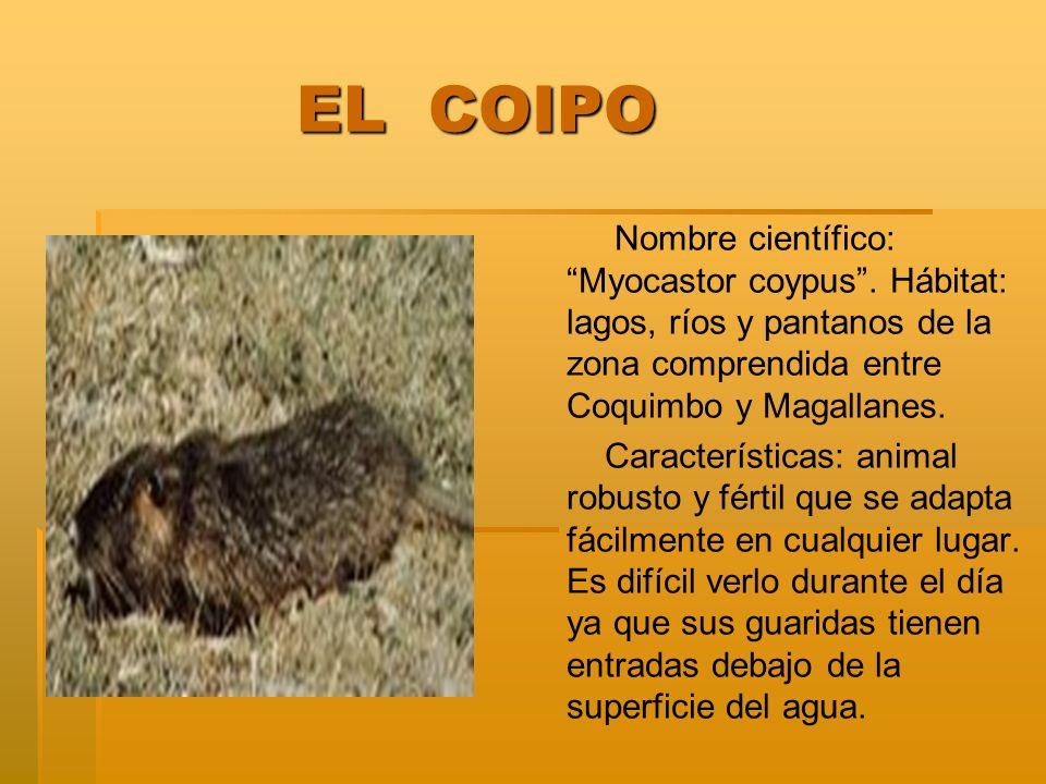 EL COIPO EL COIPO Nombre científico: Myocastor coypus. Hábitat: lagos, ríos y pantanos de la zona comprendida entre Coquimbo y Magallanes. Característ