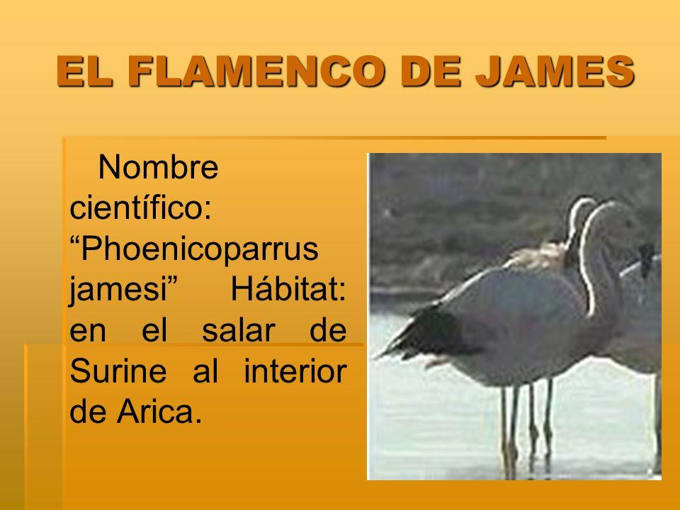 LA LLAMA LA LLAMA Nombre científico: Llama glama Hábitat: Antiplano, zonas cordilleranas en terrenos secos y pedregosos.