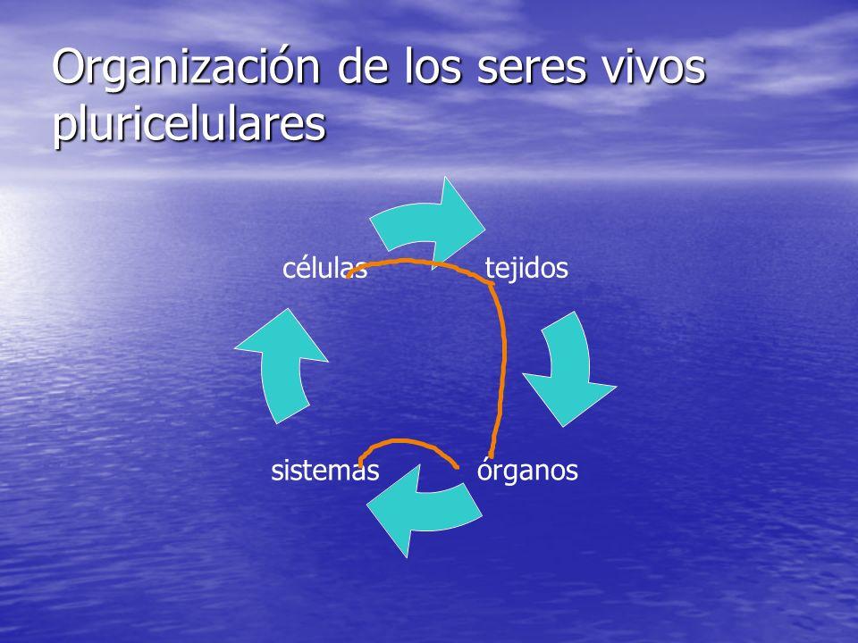 Organización de los seres vivos pluricelulares tejidos órganossistemas células