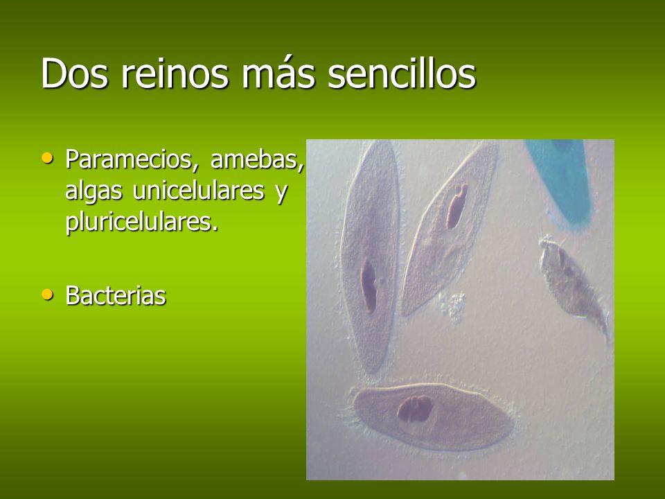 Dos reinos más sencillos Paramecios, amebas, algas unicelulares y pluricelulares. Paramecios, amebas, algas unicelulares y pluricelulares. Bacterias B