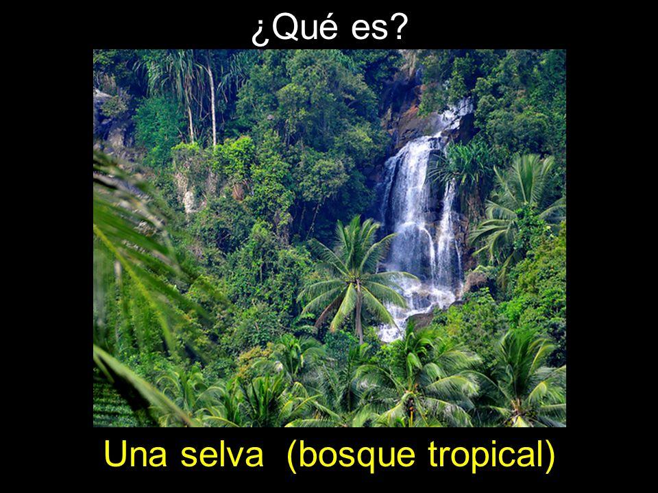 ¿Qué es? Una selva (bosque tropical)