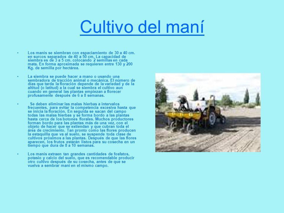 Cultivo del maní Los manís se siembran con espaciamiento de 30 a 40 cm. en surcos separados de 40 a 50 cm. La capacidad de siembra es de 3 a 5 cm. col