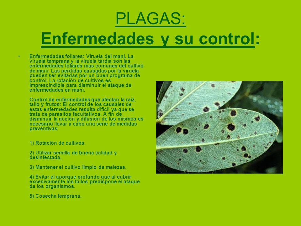 PLAGAS: Enfermedades y su control: Enfermedades foliares: Viruela del maní. La viruela temprana y la viruela tardía son las enfermedades foliares mas
