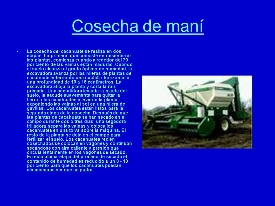 Cosecha de maní La cosecha del cacahuate se realiza en dos etapas. La primera, que consiste en desenterrar las plantas, comienza cuando alrededor del