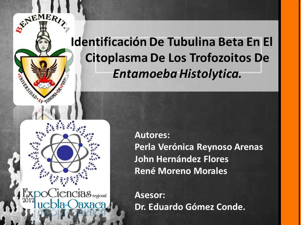 Identificación De Tubulina Beta En El Citoplasma De Los Trofozoitos De Entamoeba Histolytica. Autores: Perla Verónica Reynoso Arenas John Hernández Fl