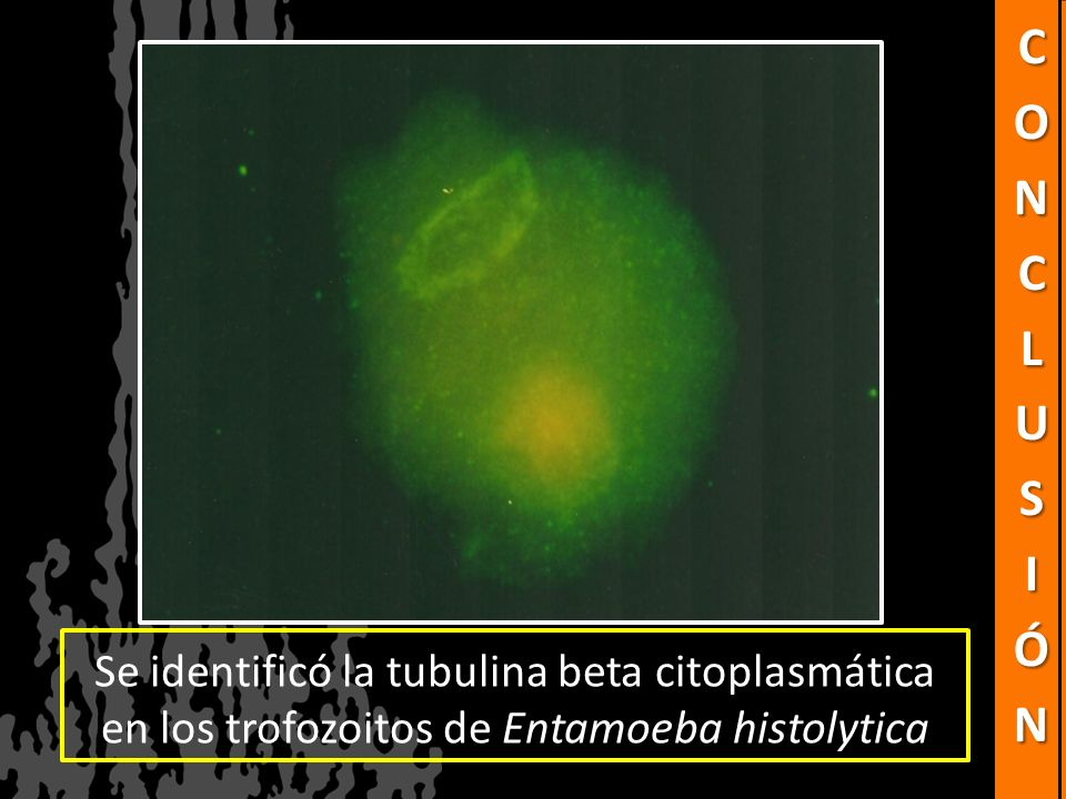 Se identificó la tubulina beta citoplasmática en los trofozoitos de Entamoeba histolytica