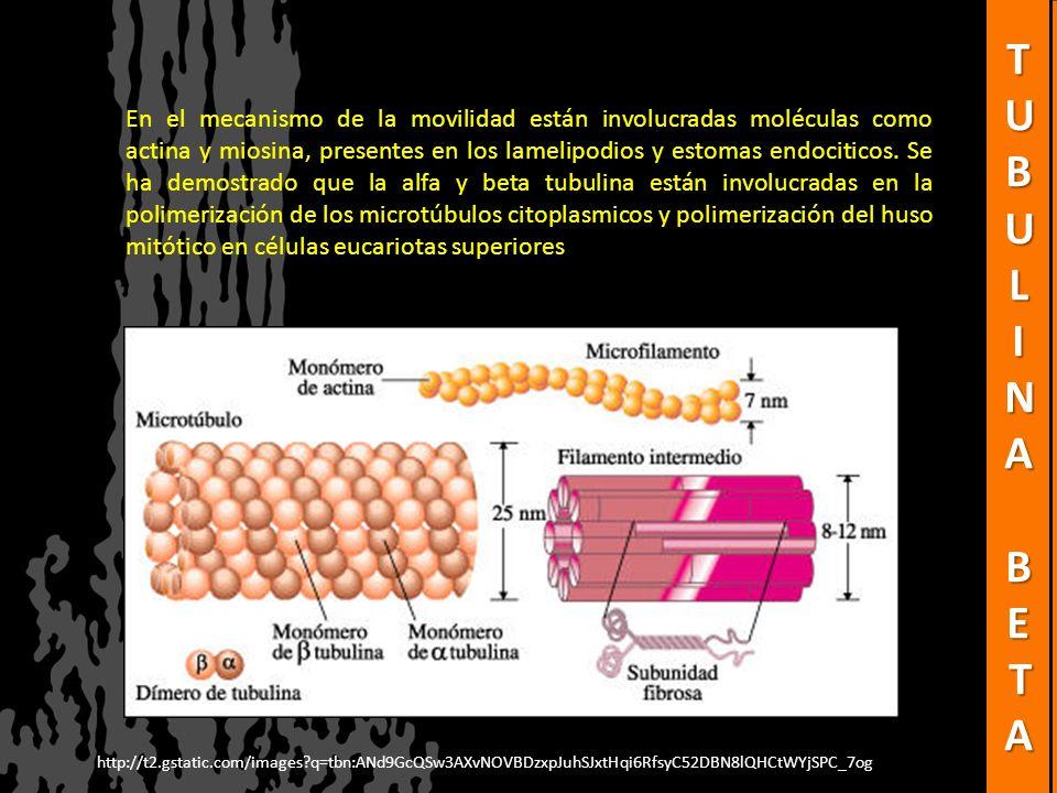 En el mecanismo de la movilidad están involucradas moléculas como actina y miosina, presentes en los lamelipodios y estomas endociticos. Se ha demostr