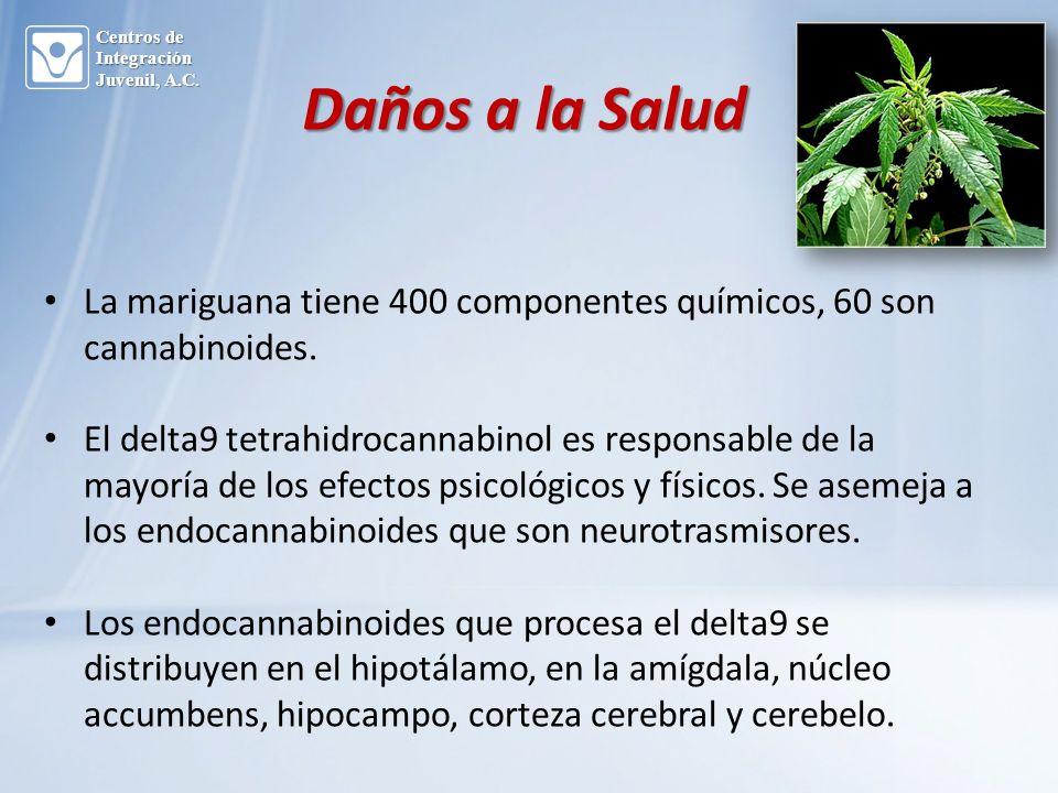 Daños a la Salud La mariguana tiene 400 componentes químicos, 60 son cannabinoides.