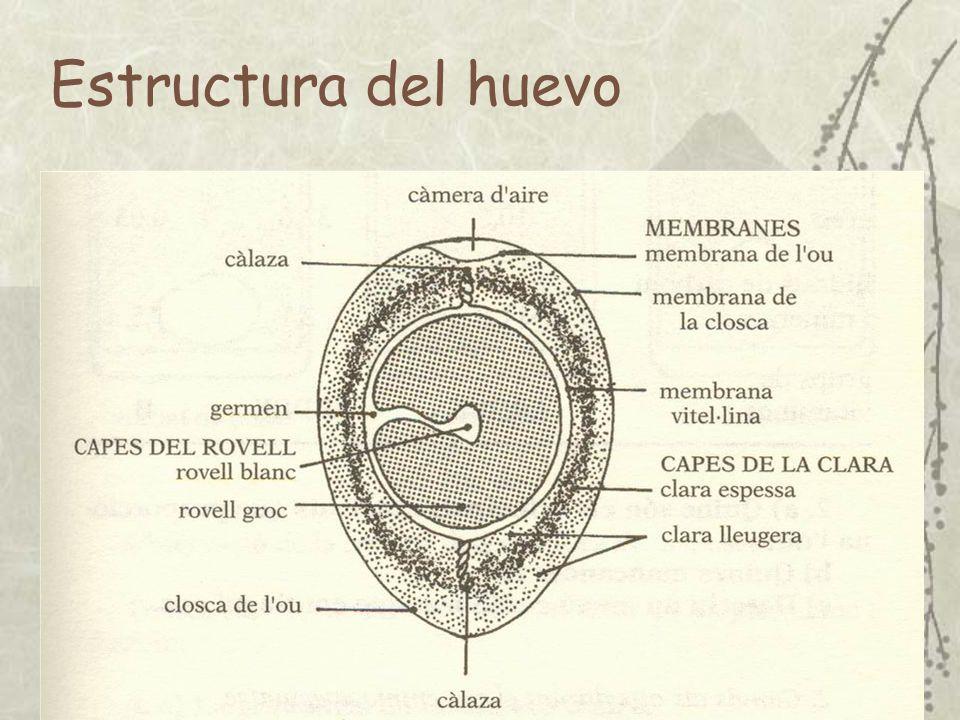 Composición (%) Huevo completoYemaClara Agua65,648,587,7 Proteína12,116,610,6 Grasa10,532,60,03 H.