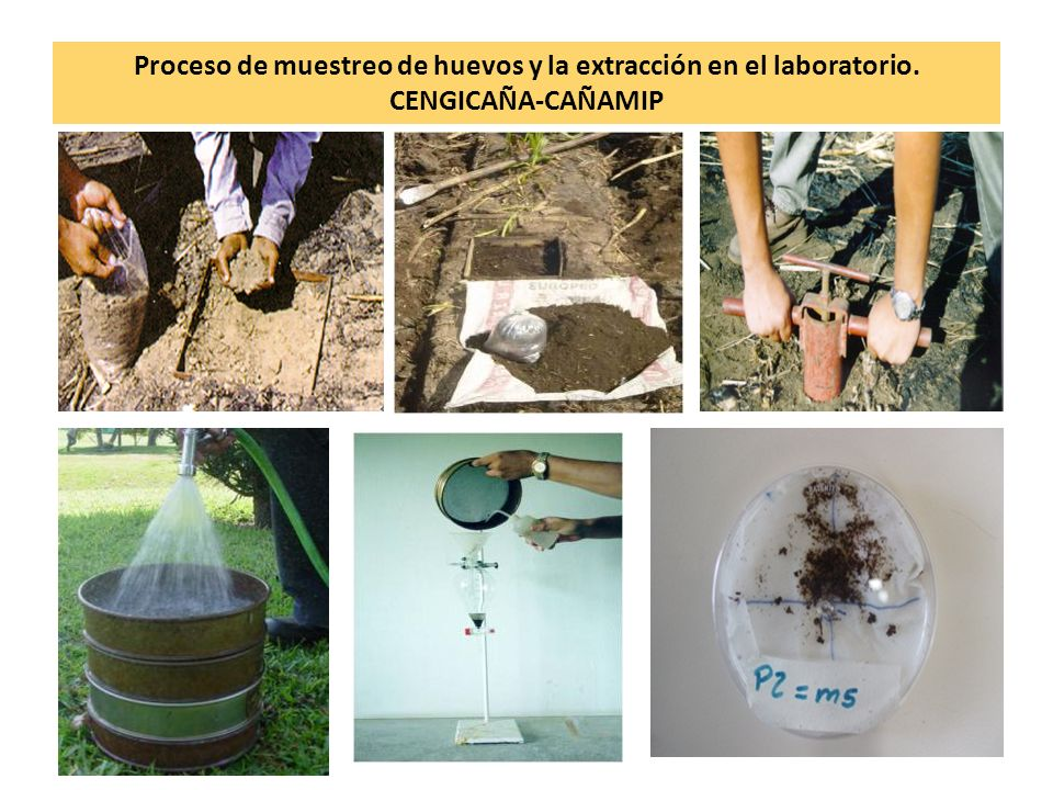 Proceso de muestreo de huevos y la extracción en el laboratorio. CENGICAÑA-CAÑAMIP