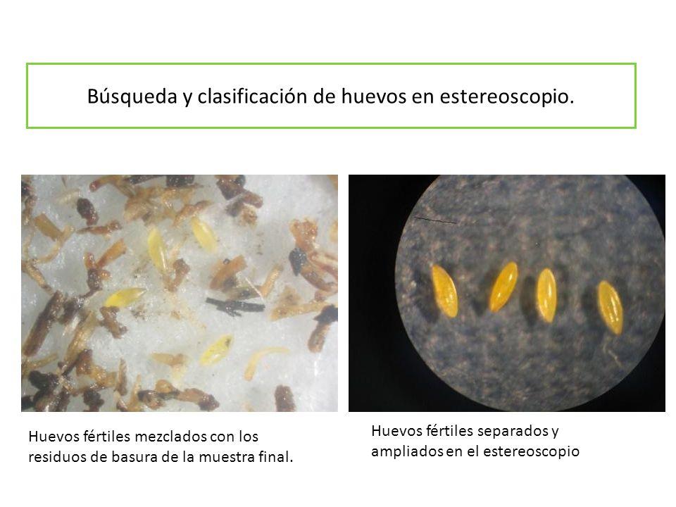 Búsqueda y clasificación de huevos en estereoscopio. Huevos fértiles mezclados con los residuos de basura de la muestra final. Huevos fértiles separad