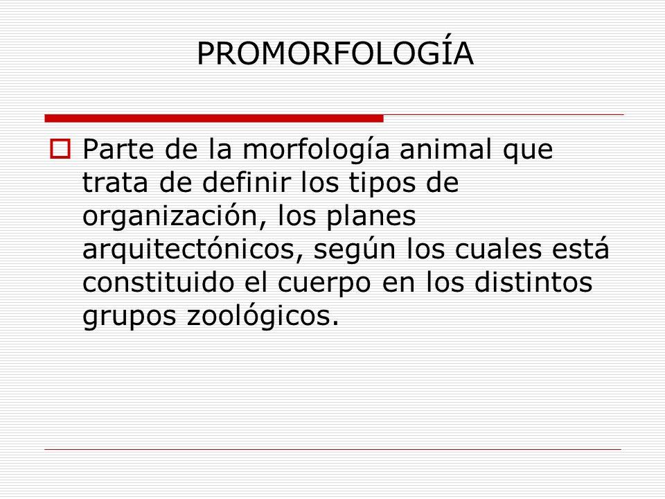 PROMORFOLOGÍA Parte de la morfología animal que trata de definir los tipos de organización, los planes arquitectónicos, según los cuales está constituido el cuerpo en los distintos grupos zoológicos.