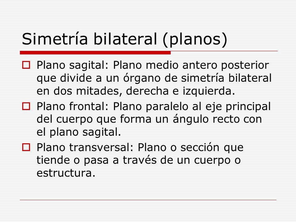 Simetría bilateral (planos) Plano sagital: Plano medio antero posterior que divide a un órgano de simetría bilateral en dos mitades, derecha e izquierda.