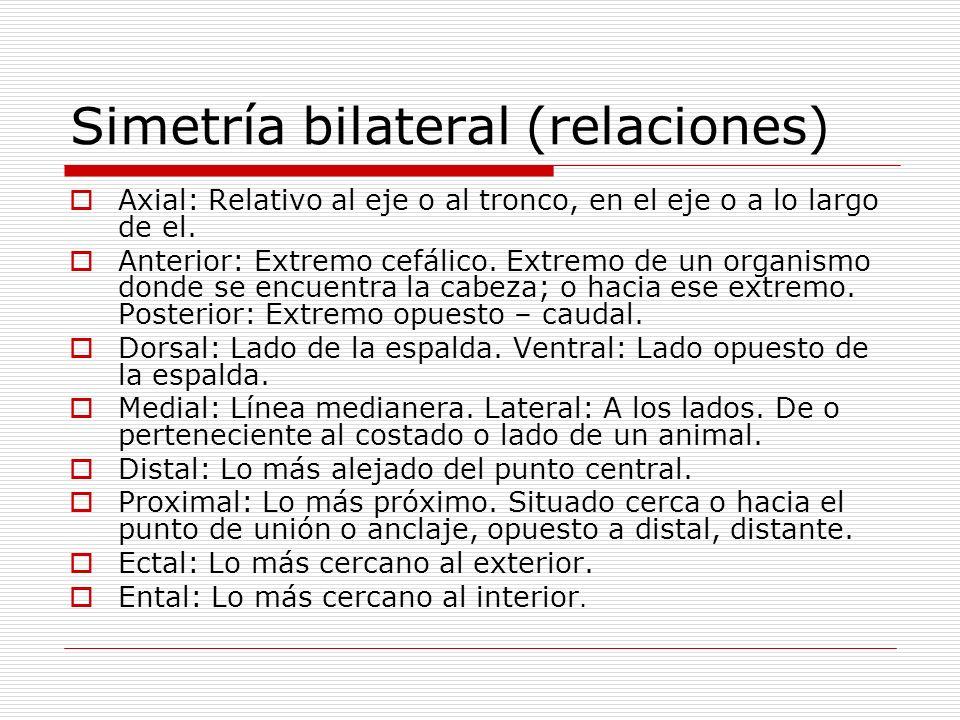 Simetría bilateral (relaciones) Axial: Relativo al eje o al tronco, en el eje o a lo largo de el. Anterior: Extremo cefálico. Extremo de un organismo