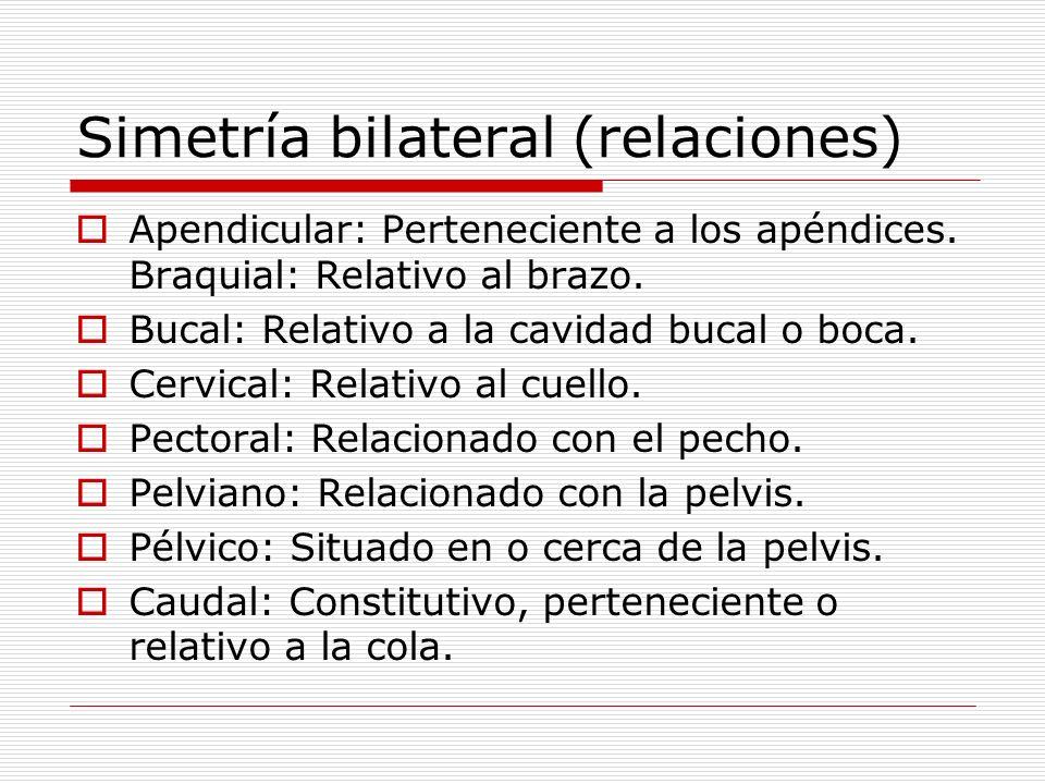 Simetría bilateral (relaciones) Apendicular: Perteneciente a los apéndices. Braquial: Relativo al brazo. Bucal: Relativo a la cavidad bucal o boca. Ce