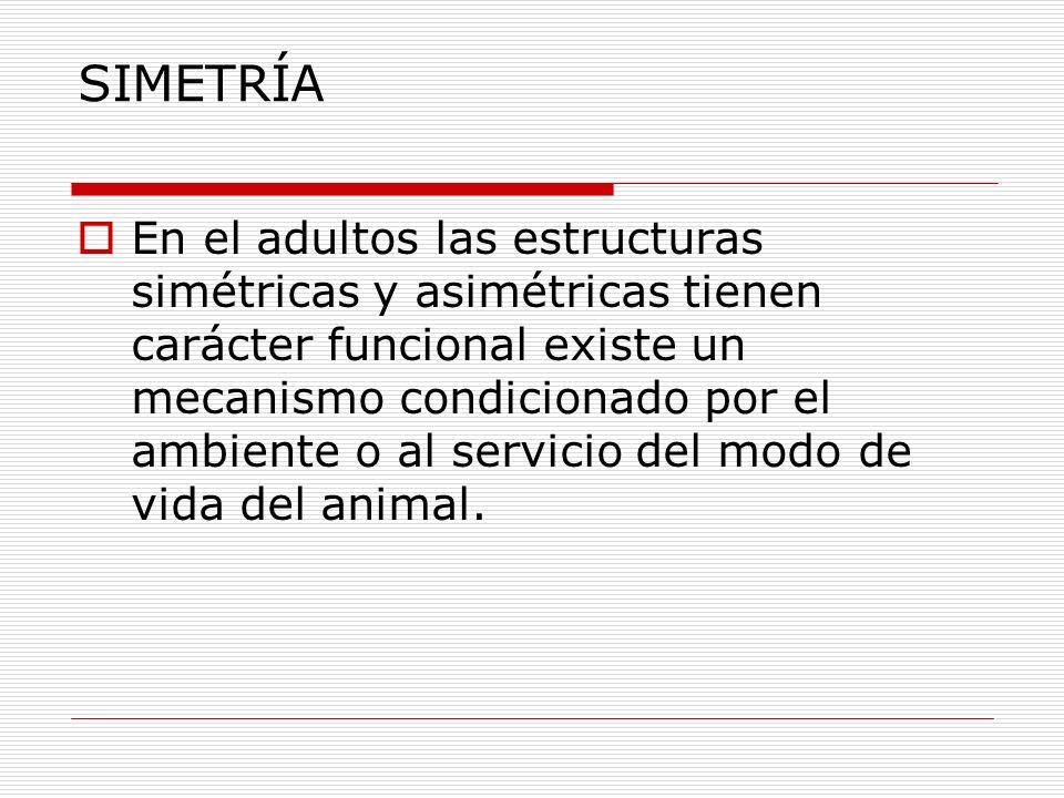 SIMETRÍA En el adultos las estructuras simétricas y asimétricas tienen carácter funcional existe un mecanismo condicionado por el ambiente o al servicio del modo de vida del animal.