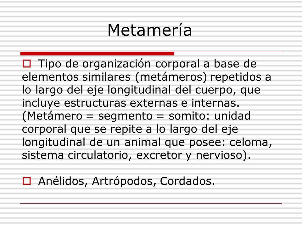 Metamería Tipo de organización corporal a base de elementos similares (metámeros) repetidos a lo largo del eje longitudinal del cuerpo, que incluye estructuras externas e internas.