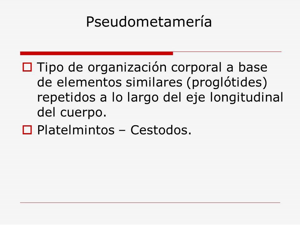 Pseudometamería Tipo de organización corporal a base de elementos similares (proglótides) repetidos a lo largo del eje longitudinal del cuerpo.