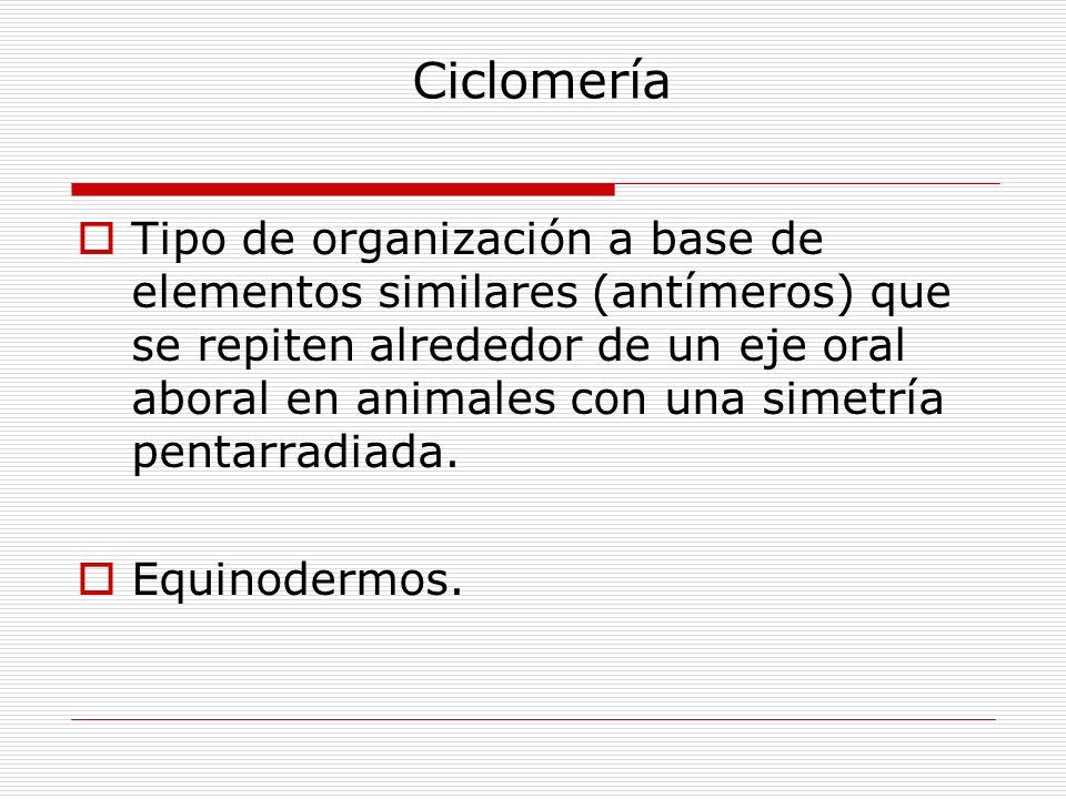 Ciclomería Tipo de organización a base de elementos similares (antímeros) que se repiten alrededor de un eje oral aboral en animales con una simetría pentarradiada.