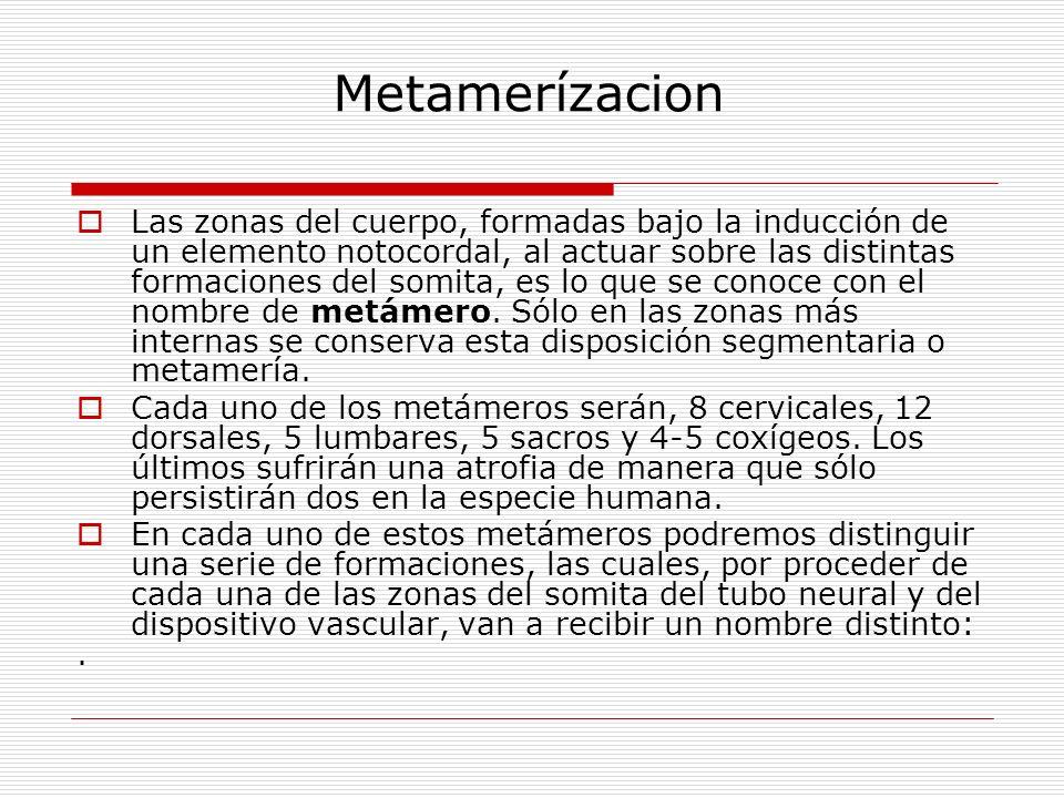 Metamerízacion Las zonas del cuerpo, formadas bajo la inducción de un elemento notocordal, al actuar sobre las distintas formaciones del somita, es lo que se conoce con el nombre de metámero.