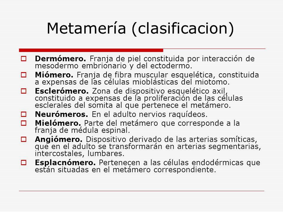 Metamería (clasificacion) Dermómero. Franja de piel constituida por interacción de mesodermo embrionario y del ectodermo. Miómero. Franja de fibra mus