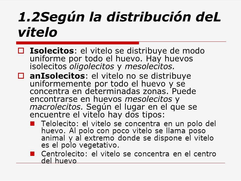 1.2Según la distribución deL vitelo Isolecitos: el vitelo se distribuye de modo uniforme por todo el huevo. Hay huevos isolecitos oligolecitos y mesol