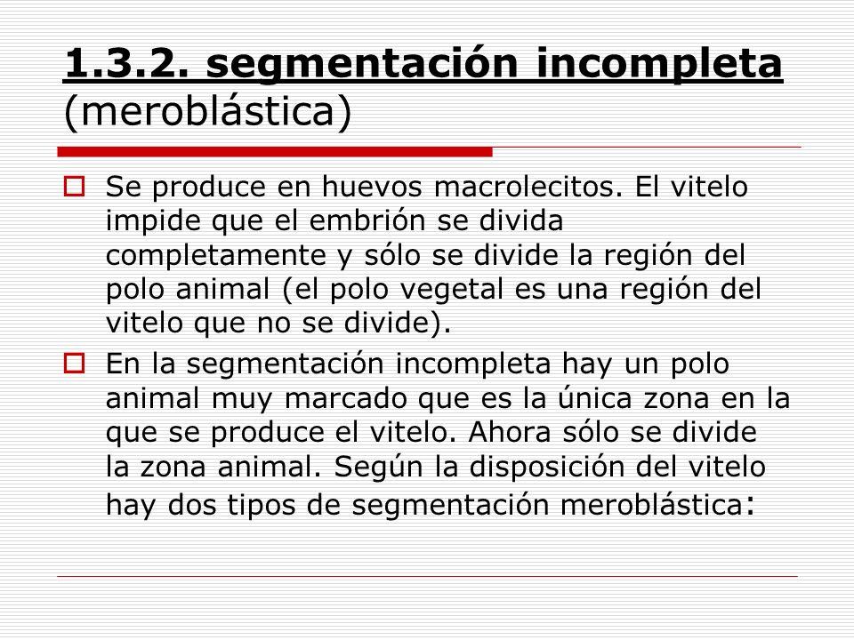 1.3.2. segmentación incompleta (meroblástica) Se produce en huevos macrolecitos. El vitelo impide que el embrión se divida completamente y sólo se div