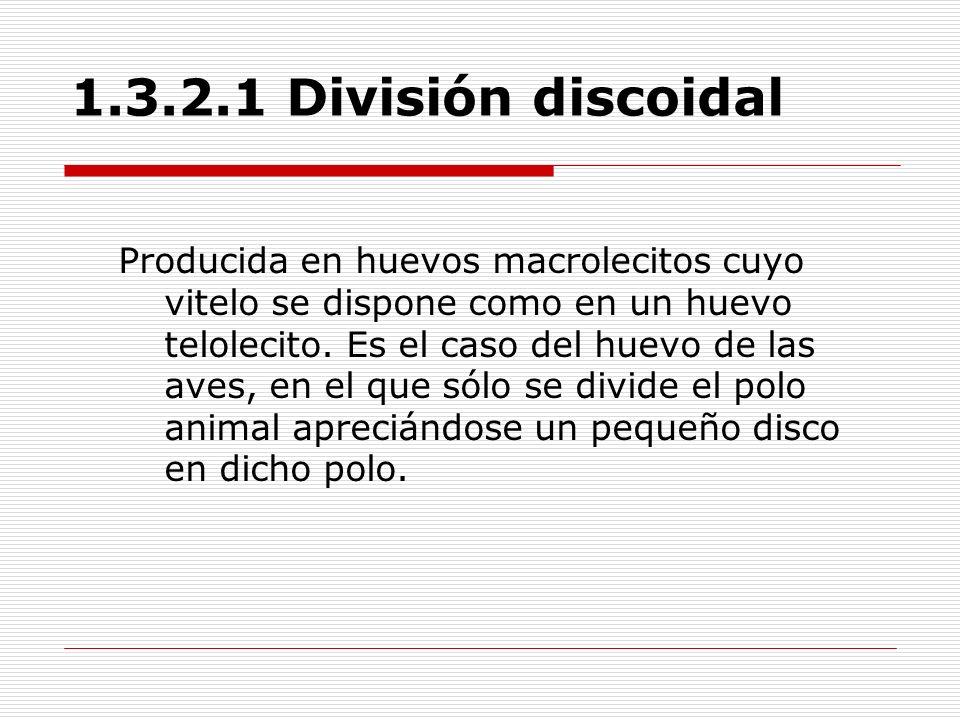 1.3.2.1 División discoidal Producida en huevos macrolecitos cuyo vitelo se dispone como en un huevo telolecito. Es el caso del huevo de las aves, en e