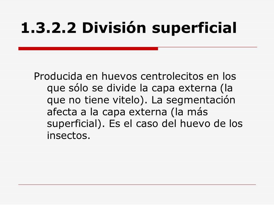 1.3.2.2 División superficial Producida en huevos centrolecitos en los que sólo se divide la capa externa (la que no tiene vitelo). La segmentación afe