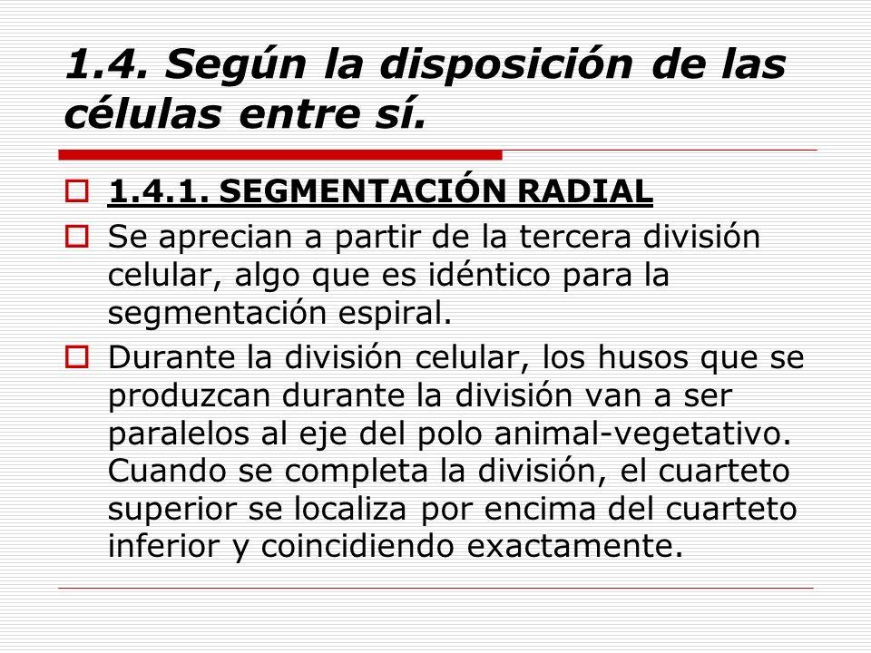 1.4. Según la disposición de las células entre sí. 1.4.1. SEGMENTACIÓN RADIAL Se aprecian a partir de la tercera división celular, algo que es idéntic