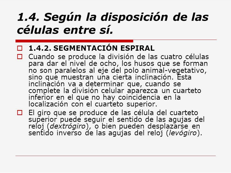 1.4. Según la disposición de las células entre sí. 1.4.2. SEGMENTACIÓN ESPIRAL Cuando se produce la división de las cuatro células para dar el nivel d