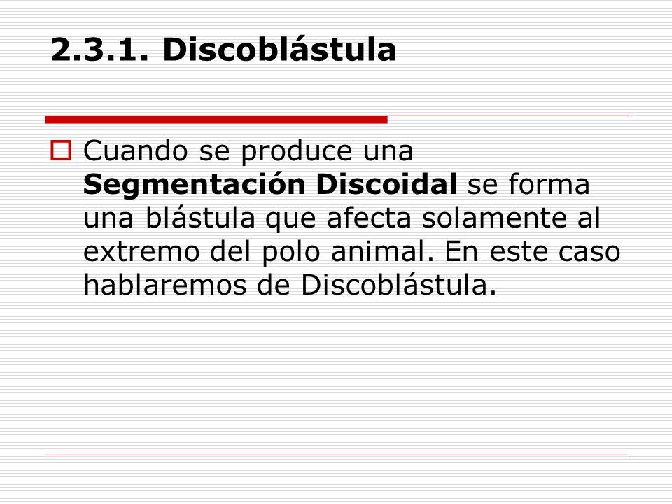 2.3.1. Discoblástula Cuando se produce una Segmentación Discoidal se forma una blástula que afecta solamente al extremo del polo animal. En este caso