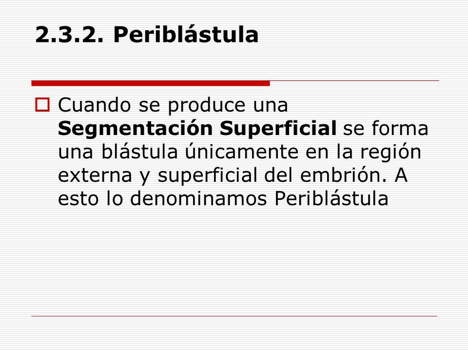 2.3.2. Periblástula Cuando se produce una Segmentación Superficial se forma una blástula únicamente en la región externa y superficial del embrión. A
