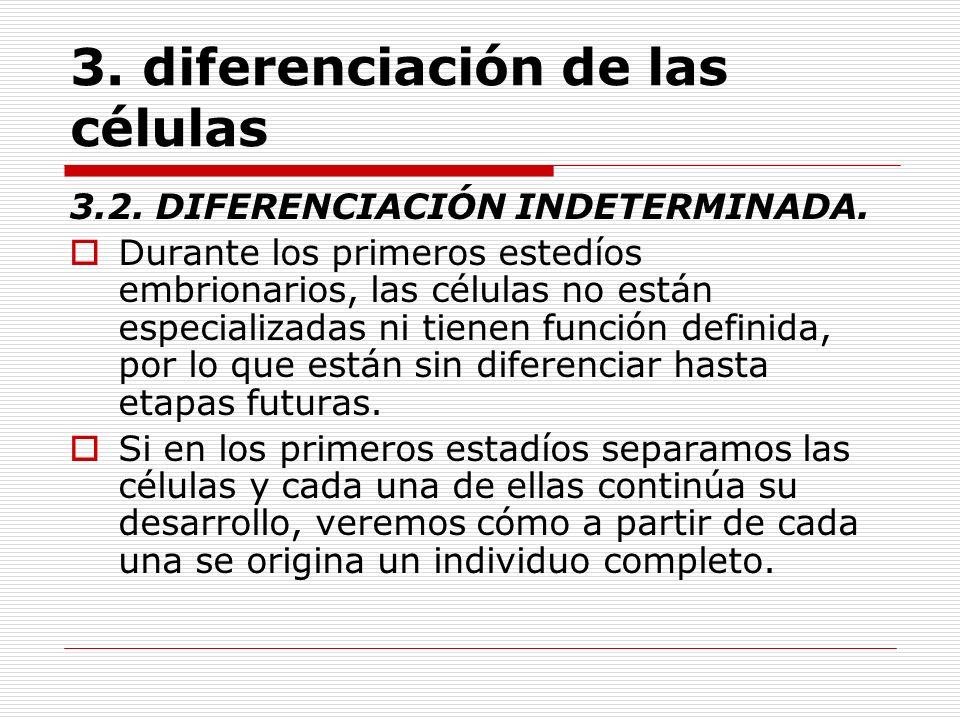 3. diferenciación de las células 3.2. DIFERENCIACIÓN INDETERMINADA. Durante los primeros estedíos embrionarios, las células no están especializadas ni