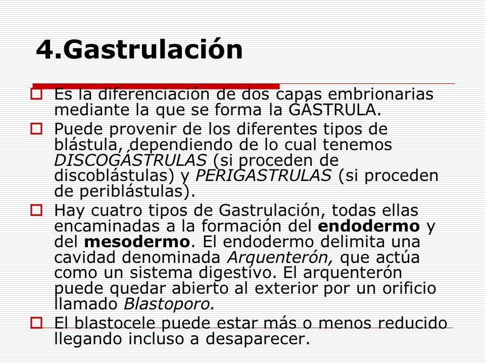 4.Gastrulación Es la diferenciación de dos capas embrionarias mediante la que se forma la GÁSTRULA. Puede provenir de los diferentes tipos de blástula