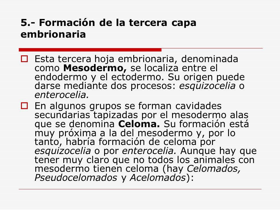 5.- Formación de la tercera capa embrionaria Esta tercera hoja embrionaria, denominada como Mesodermo, se localiza entre el endodermo y el ectodermo.
