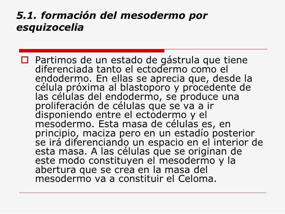 5.1. formación del mesodermo por esquizocelia Partimos de un estado de gástrula que tiene diferenciada tanto el ectodermo como el endodermo. En ellas