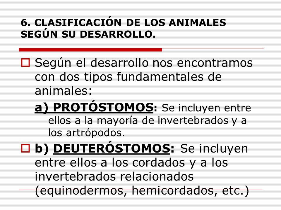 6. CLASIFICACIÓN DE LOS ANIMALES SEGÚN SU DESARROLLO. Según el desarrollo nos encontramos con dos tipos fundamentales de animales: a) PROTÓSTOMOS : Se