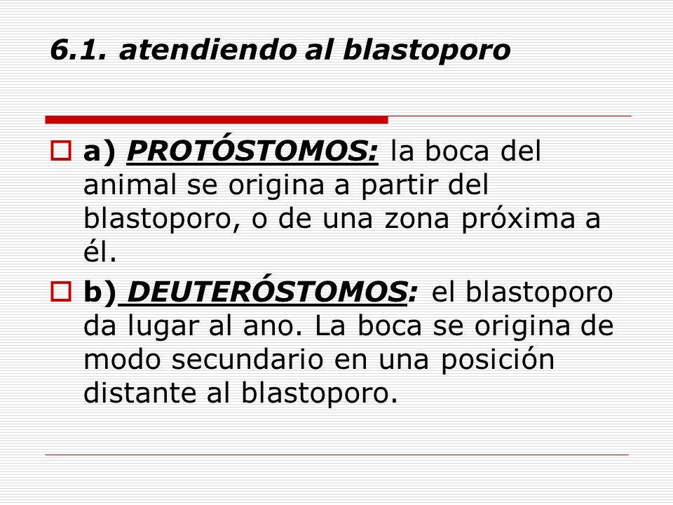 6.1. atendiendo al blastoporo a) PROTÓSTOMOS: la boca del animal se origina a partir del blastoporo, o de una zona próxima a él. b) DEUTERÓSTOMOS: el