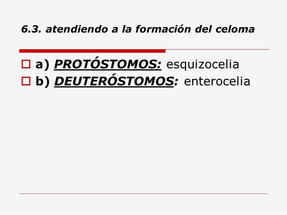 6.3. atendiendo a la formación del celoma a) PROTÓSTOMOS: esquizocelia b) DEUTERÓSTOMOS: enterocelia