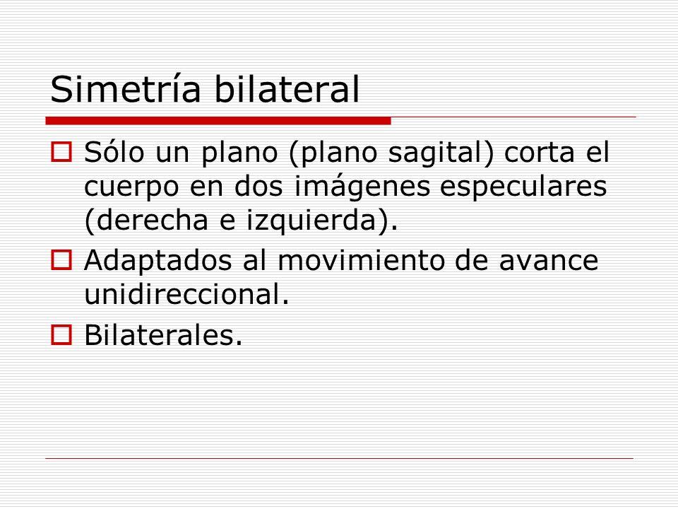 Simetría bilateral Sólo un plano (plano sagital) corta el cuerpo en dos imágenes especulares (derecha e izquierda). Adaptados al movimiento de avance