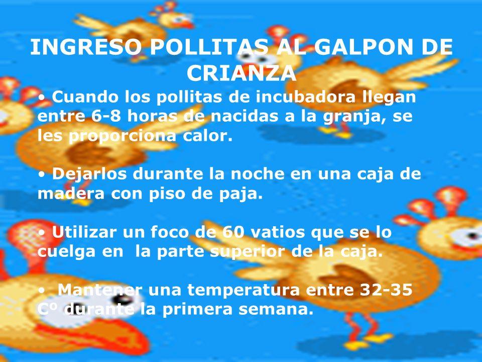 INGRESO POLLITAS AL GALPON DE CRIANZA Cuando los pollitas de incubadora llegan entre 6-8 horas de nacidas a la granja, se les proporciona calor. Dejar