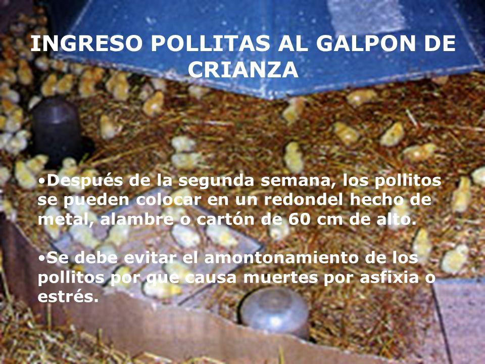 INGRESO POLLITAS AL GALPON DE CRIANZA Después de la segunda semana, los pollitos se pueden colocar en un redondel hecho de metal, alambre o cartón de