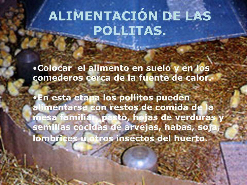 Colocar el alimento en suelo y en los comederos cerca de la fuente de calor. En esta etapa los pollitos pueden alimentarse con restos de comida de la